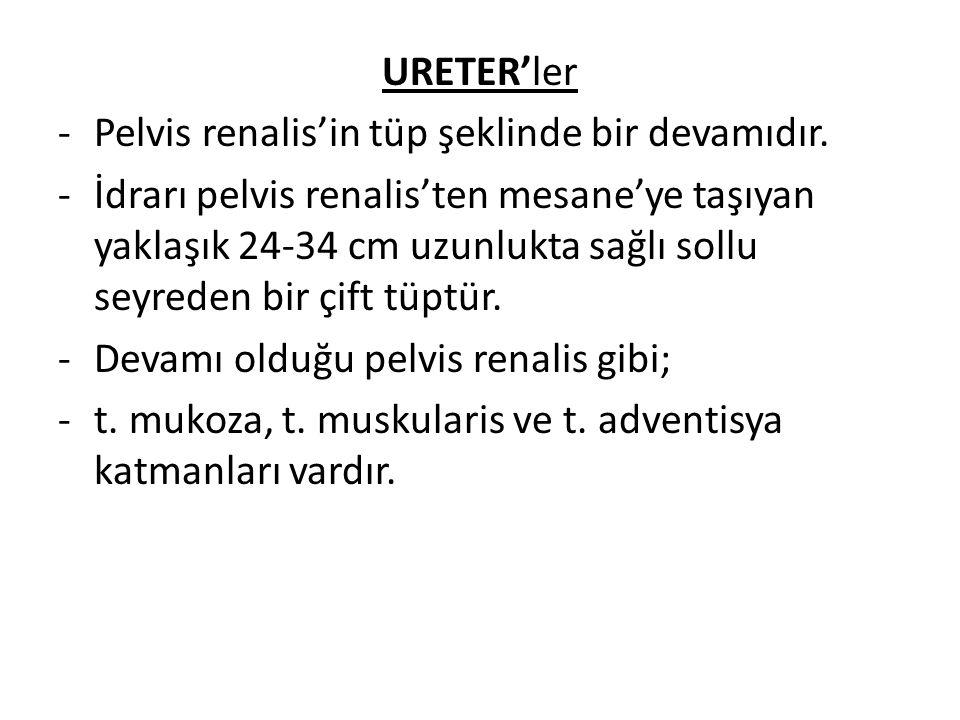 URETER'ler -Pelvis renalis'in tüp şeklinde bir devamıdır. -İdrarı pelvis renalis'ten mesane'ye taşıyan yaklaşık 24-34 cm uzunlukta sağlı sollu seyrede