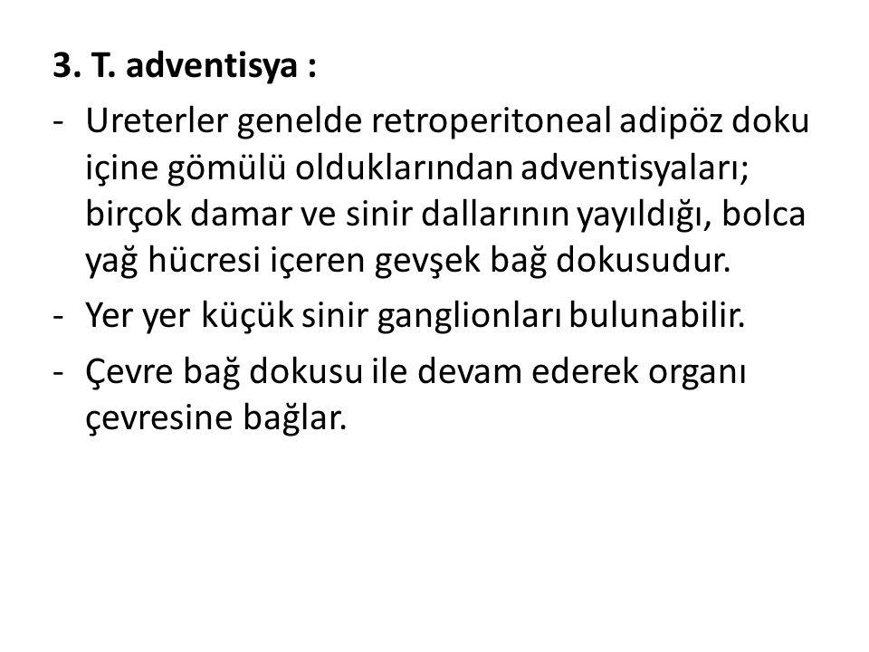 3. T. adventisya : -Ureterler genelde retroperitoneal adipöz doku içine gömülü olduklarından adventisyaları; birçok damar ve sinir dallarının yayıldığ