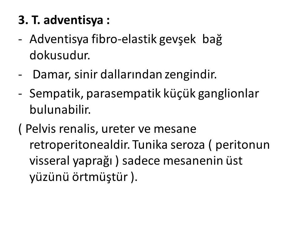 3. T. adventisya : -Adventisya fibro-elastik gevşek bağ dokusudur. - Damar, sinir dallarından zengindir. -Sempatik, parasempatik küçük ganglionlar bul