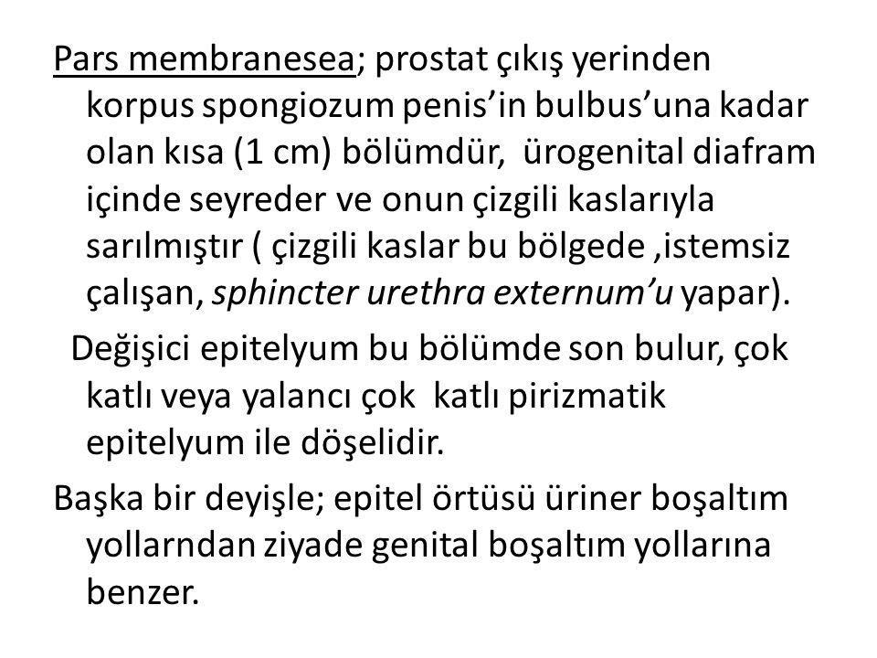 Pars membranesea; prostat çıkış yerinden korpus spongiozum penis'in bulbus'una kadar olan kısa (1 cm) bölümdür, ürogenital diafram içinde seyreder ve