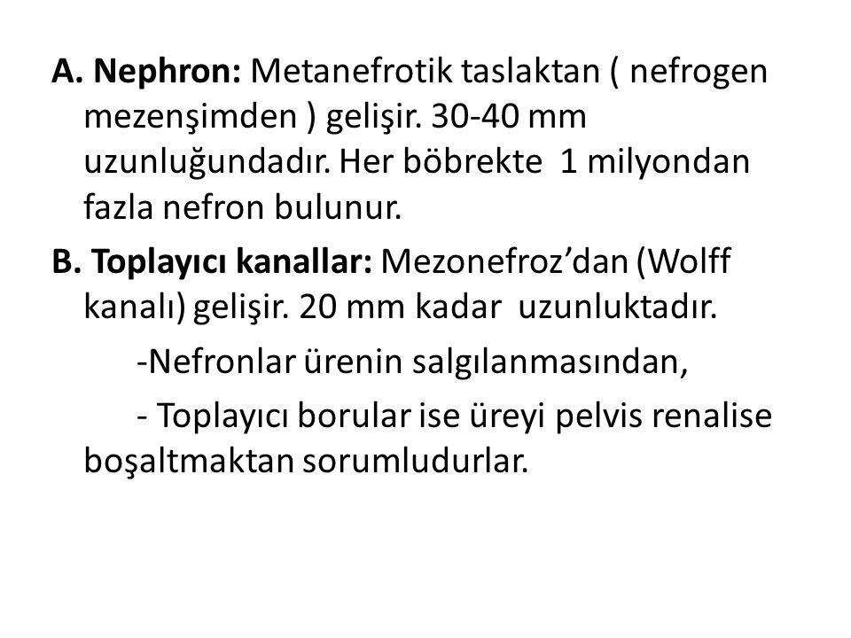 A. Nephron: Metanefrotik taslaktan ( nefrogen mezenşimden ) gelişir. 30-40 mm uzunluğundadır. Her böbrekte 1 milyondan fazla nefron bulunur. B. Toplay