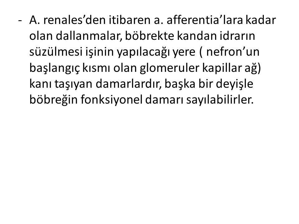 -A.renales'den itibaren a.