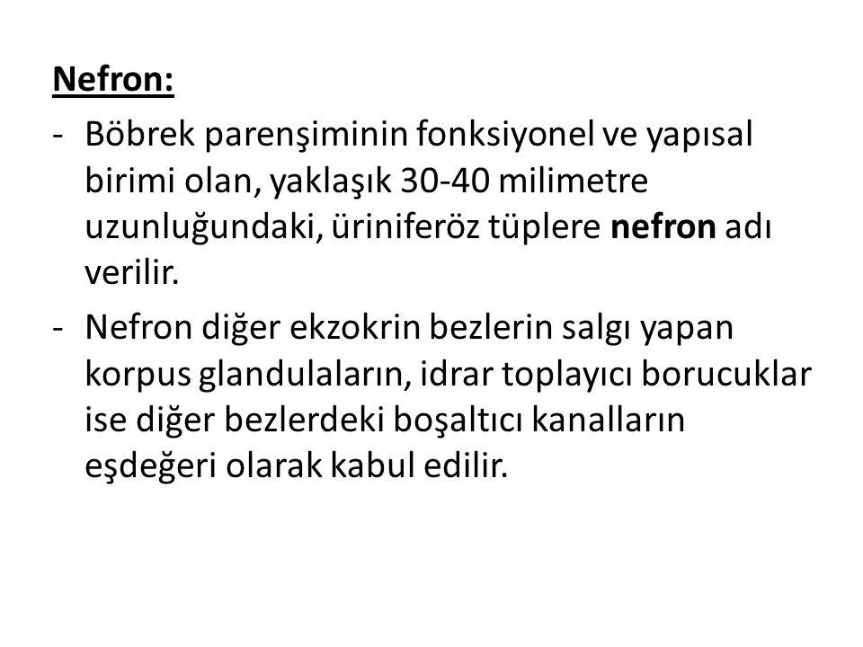Nefron: -Böbrek parenşiminin fonksiyonel ve yapısal birimi olan, yaklaşık 30-40 milimetre uzunluğundaki, üriniferöz tüplere nefron adı verilir. -Nefro