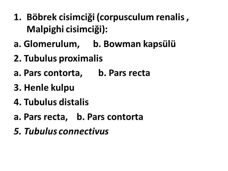 1.Böbrek cisimciği (corpusculum renalis, Malpighi cisimciği): a. Glomerulum, b. Bowman kapsülü 2. Tubulus proximalis a. Pars contorta, b. Pars recta 3