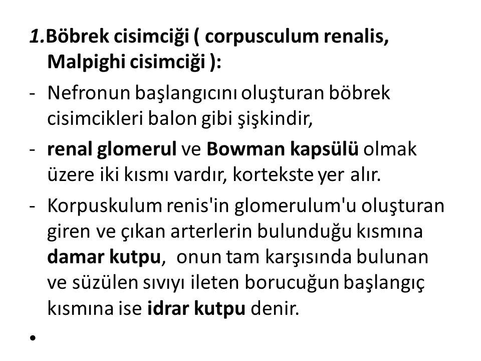 1.Böbrek cisimciği ( corpusculum renalis, Malpighi cisimciği ): -Nefronun başlangıcını oluşturan böbrek cisimcikleri balon gibi şişkindir, -renal glom