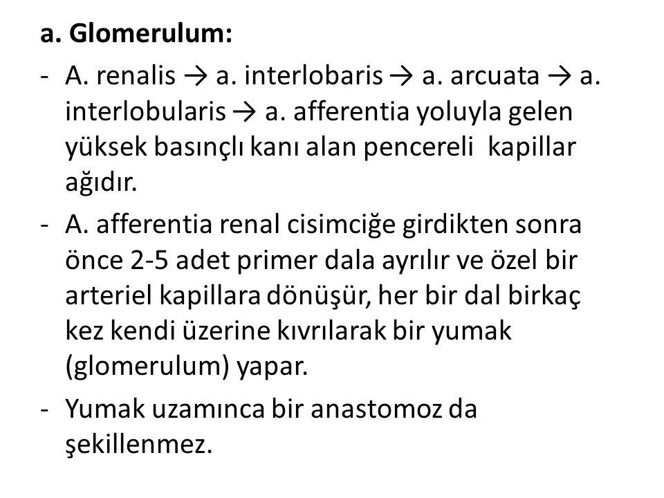a. Glomerulum: -A. renalis → a. interlobaris → a. arcuata → a. interlobularis → a. afferentia yoluyla gelen yüksek basınçlı kanı alan pencereli kapill