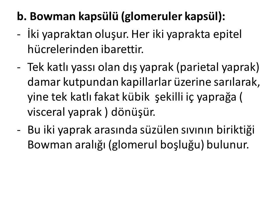 b.Bowman kapsülü (glomeruler kapsül): -İki yapraktan oluşur.
