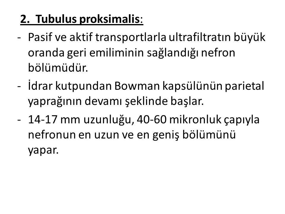 2. Tubulus proksimalis: -Pasif ve aktif transportlarla ultrafiltratın büyük oranda geri emiliminin sağlandığı nefron bölümüdür. -İdrar kutpundan Bowma