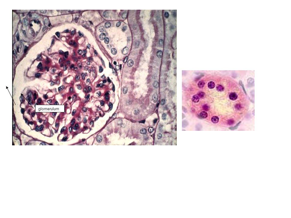 glomerulum