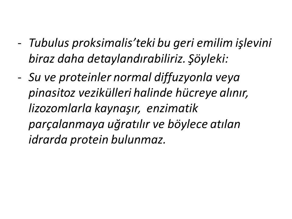 -Tubulus proksimalis'teki bu geri emilim işlevini biraz daha detaylandırabiliriz.