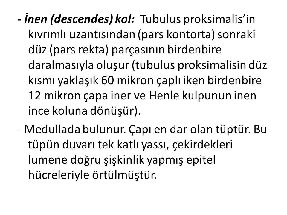 - İnen (descendes) kol: Tubulus proksimalis'in kıvrımlı uzantısından (pars kontorta) sonraki düz (pars rekta) parçasının birdenbire daralmasıyla oluşu