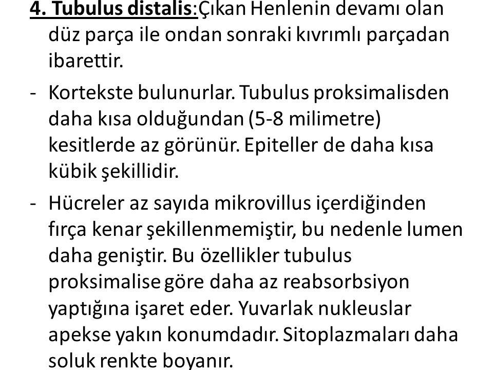 4. Tubulus distalis:Çıkan Henlenin devamı olan düz parça ile ondan sonraki kıvrımlı parçadan ibarettir. -Kortekste bulunurlar. Tubulus proksimalisden