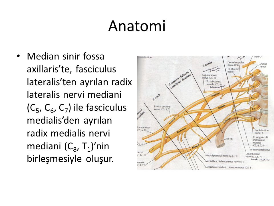 Anatomi Median sinir fossa axillaris'te, fasciculus lateralis'ten ayrılan radix lateralis nervi mediani (C 5, C 6, C 7 ) ile fasciculus medialis'den ayrılan radix medialis nervi mediani (C 8, T 1 )'nin birleşmesiyle oluşur.