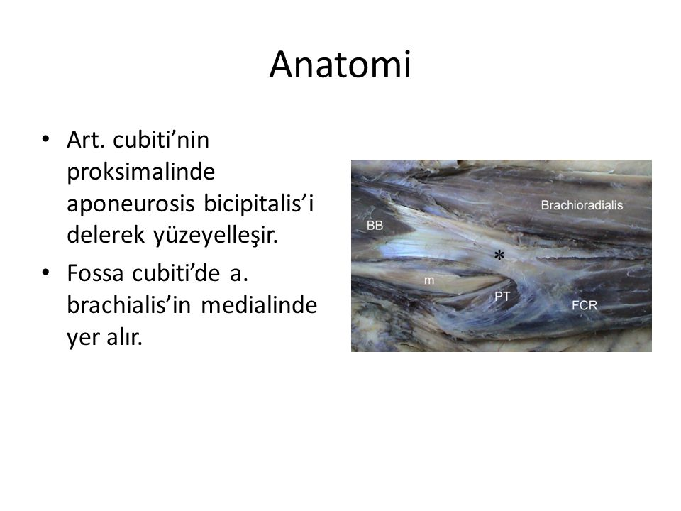 Anatomi Art.cubiti'nin proksimalinde aponeurosis bicipitalis'i delerek yüzeyelleşir.
