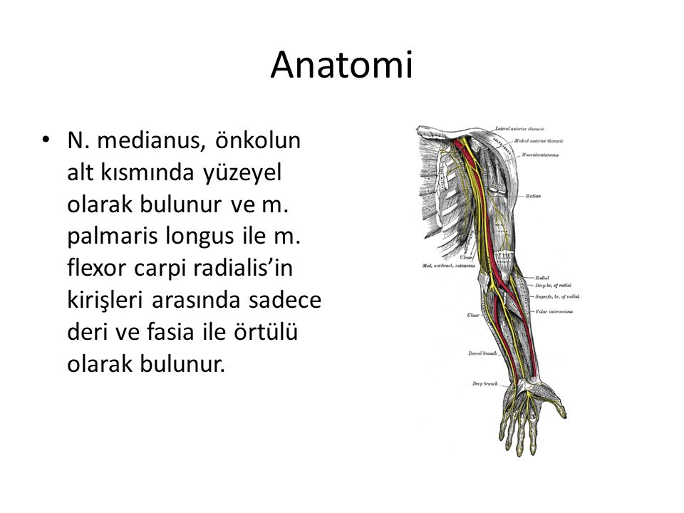 Anatomi N. medianus, önkolun alt kısmında yüzeyel olarak bulunur ve m. palmaris longus ile m. flexor carpi radialis'in kirişleri arasında sadece deri