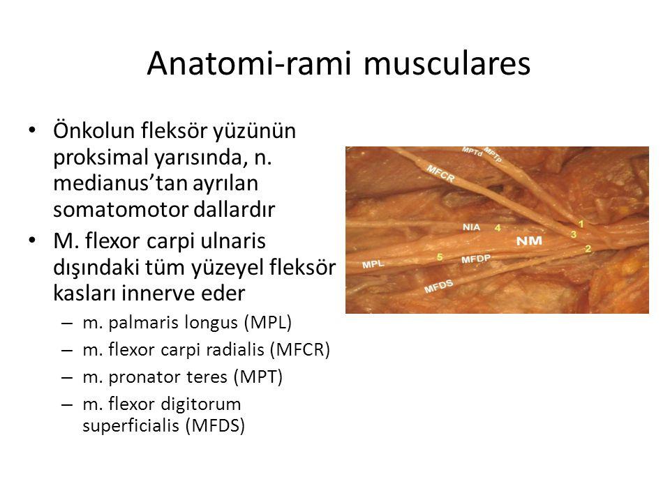 Anatomi-rami musculares Önkolun fleksör yüzünün proksimal yarısında, n. medianus'tan ayrılan somatomotor dallardır M. flexor carpi ulnaris dışındaki t