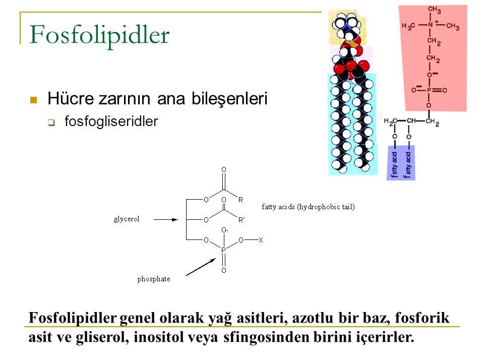 Fosfogliseritlerde yer alan gliserol 3.karbon atomunda fosfat grubu taşır.