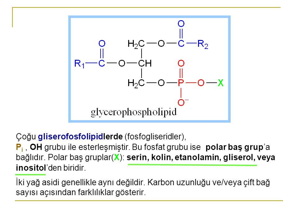 Fosfatidat Fosfatidat'da  Yağ asitleri C1 ve C2 deki hidroksillerle esterleşmiştir.