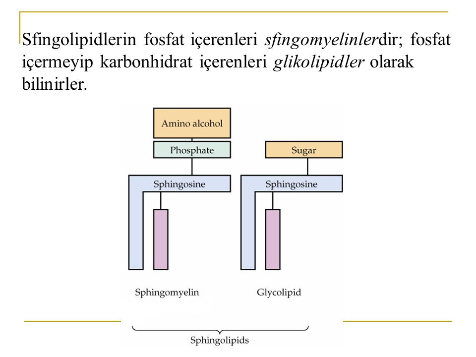 Sfingolipidler: Gliserol içermeyen, yağ asidi ve uzun zincirli bir amino alkol olan sfingozin içeren bileşik lipidlerdir.