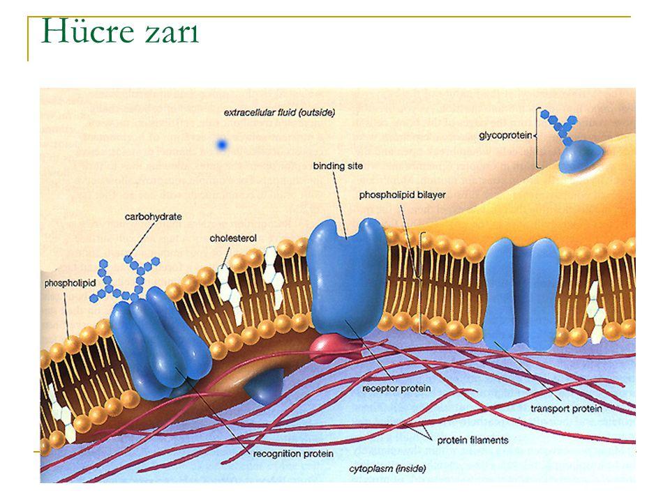 Gliserofosfolipidler ve sfingolipidler, membran lipidlerinin iki önemli sınıfını oluştururlar.