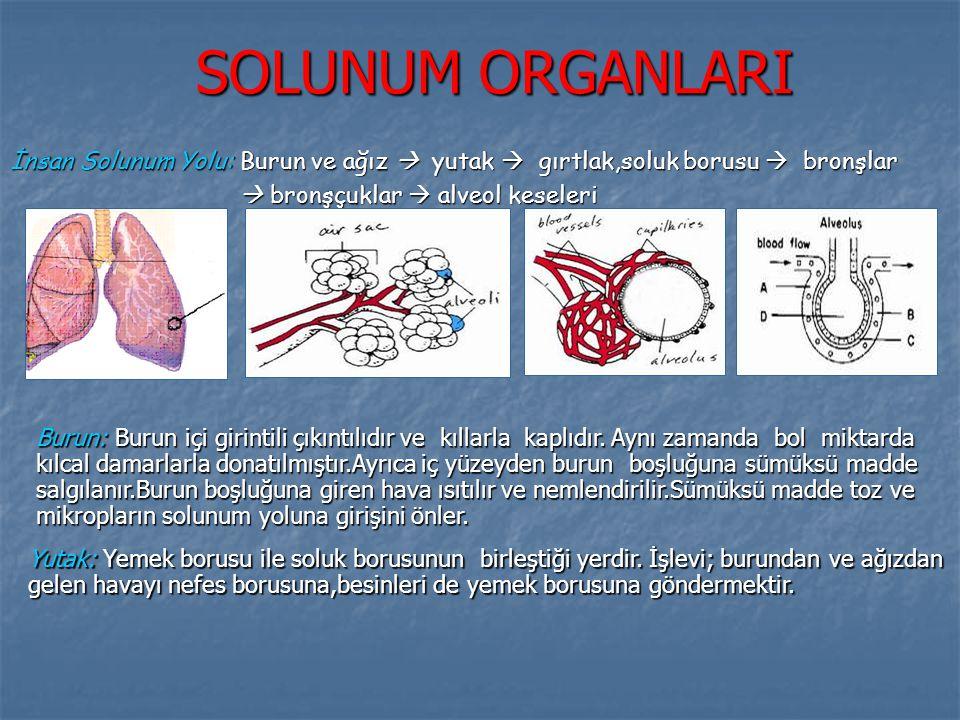SOLUNUM ORGANLARI İnsan Solunum Yolu: Burun ve ağız  yutak  gırtlak,soluk borusu  bronşlar  bronşçuklar  alveol keseleri Burun: Burun içi girinti