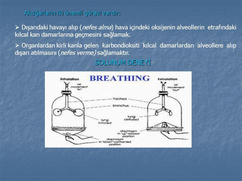 Akciğerlerin iki önemli görevi vardır: ışarıdaki havayı alıp (nefes alma) hava içindeki oksijenin alveollerin etrafındaki kılcal kan damarlarına geçme