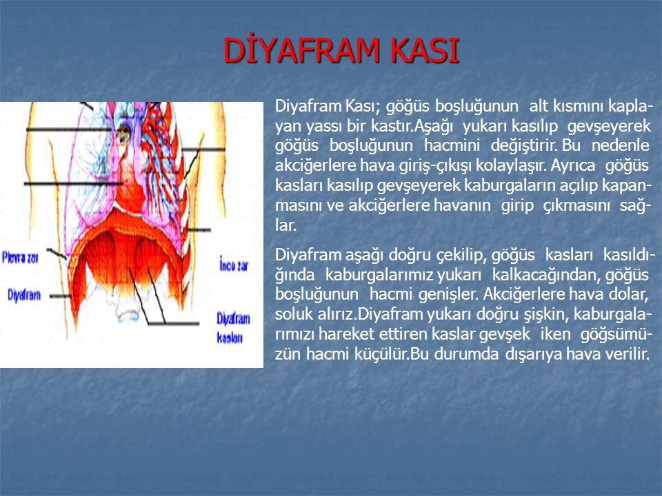 DİYAFRAM KASI Diyafram Kası; göğüs boşluğunun alt kısmını kapla- yan yassı bir kastır.Aşağı yukarı kasılıp gevşeyerek göğüs boşluğunun hacmini değişti