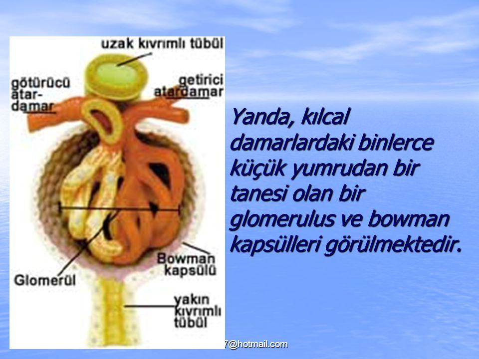 fikret307@hotmail.com Yanda, kılcal damarlardaki binlerce küçük yumrudan bir tanesi olan bir glomerulus ve bowman kapsülleri görülmektedir. Yanda, kıl
