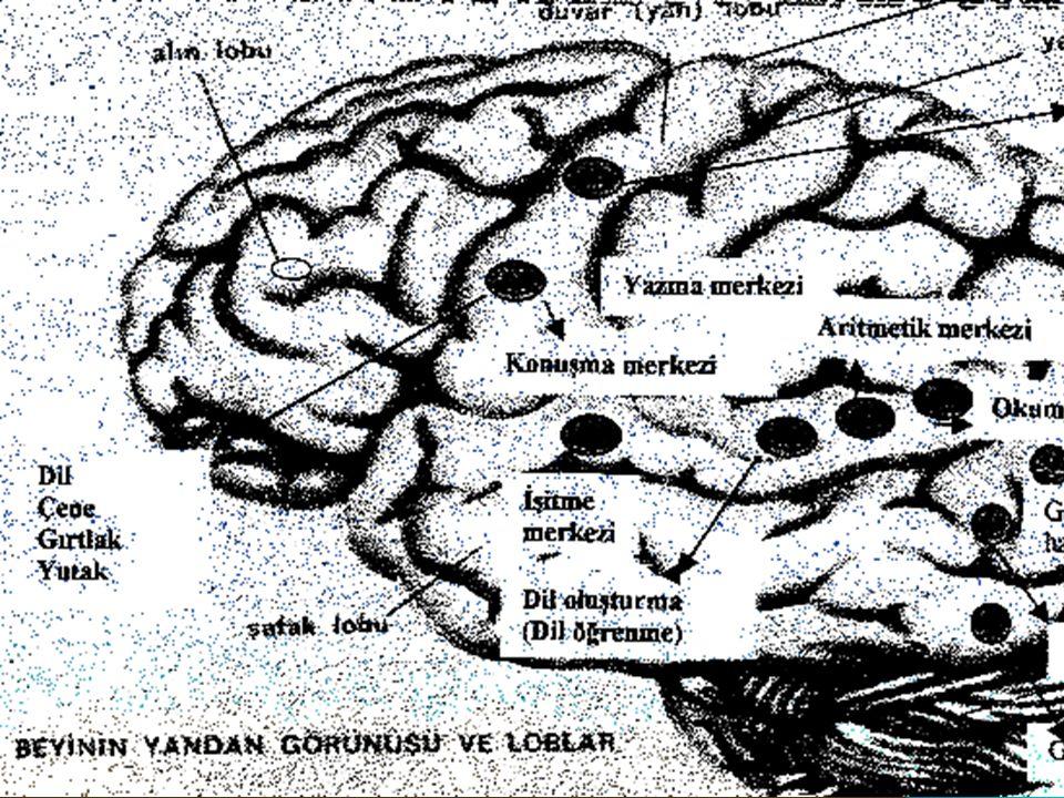 Beyin kafatasının içinde sinir dokusundan yapılmış bir organdır.