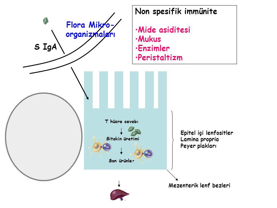 Non spesifik immünite Mide asiditesi Mukus Enzimler Peristaltizm S IgA T hücre cevabı Sitokin üretimi Son ürünler Epitel içi lenfositler Lamina propria Peyer plakları Mezenterik lenf bezleri Flora Mikro- organizmaları