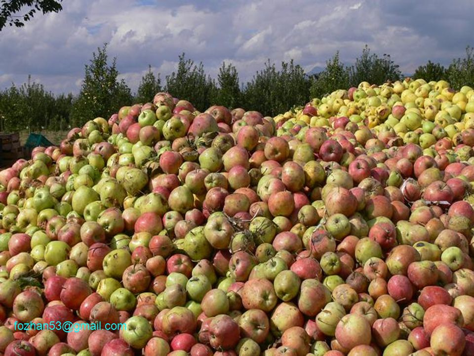 Amasya ilimiz, elmaları ile meşhurdur.Ama...