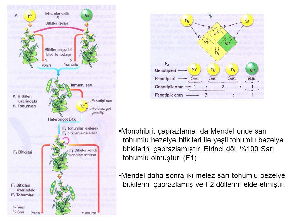 Monohibrit çaprazlama da Mendel önce sarı tohumlu bezelye bitkileri ile yeşil tohumlu bezelye bitkilerini çaprazlamıştır. Birinci döl %100 Sarı tohuml