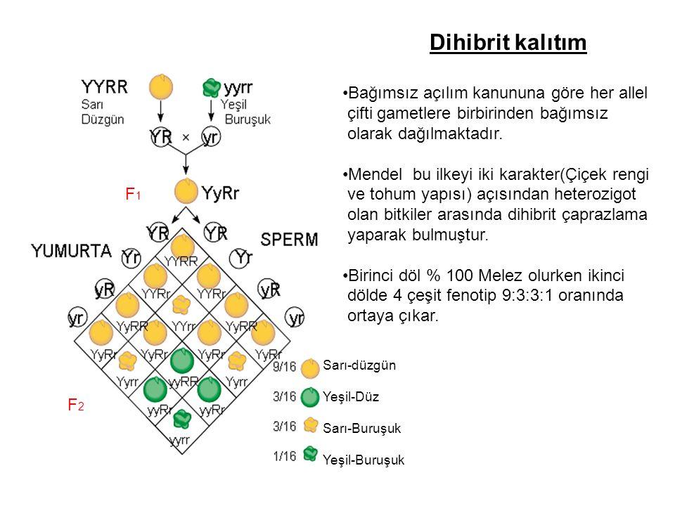 Dihibrit kalıtım F1F1 F2F2 Sarı-düzgün Yeşil-Düz Sarı-Buruşuk Yeşil-Buruşuk Bağımsız açılım kanununa göre her allel çifti gametlere birbirinden bağıms
