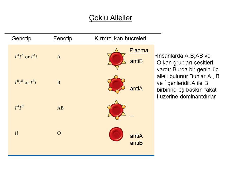 Genotip Fenotip Kırmızı kan hücreleri antiB antiA -- antiA antiB Plazma Çoklu Alleller İnsanlarda A,B,AB ve O kan grupları çeşitleri vardır.Burda bir