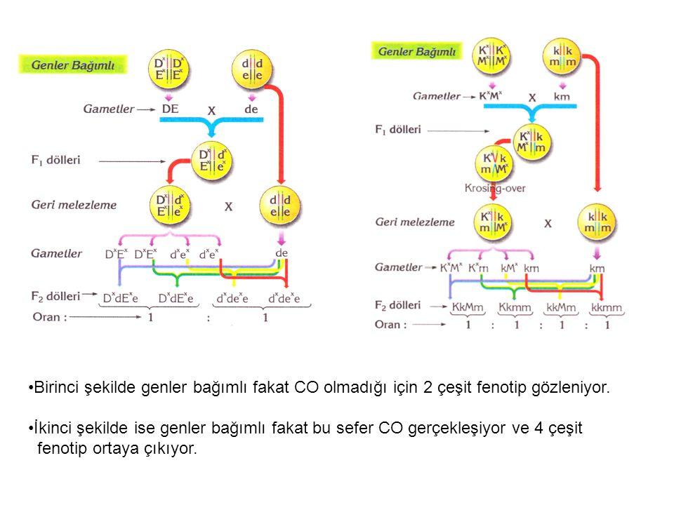 Birinci şekilde genler bağımlı fakat CO olmadığı için 2 çeşit fenotip gözleniyor. İkinci şekilde ise genler bağımlı fakat bu sefer CO gerçekleşiyor ve
