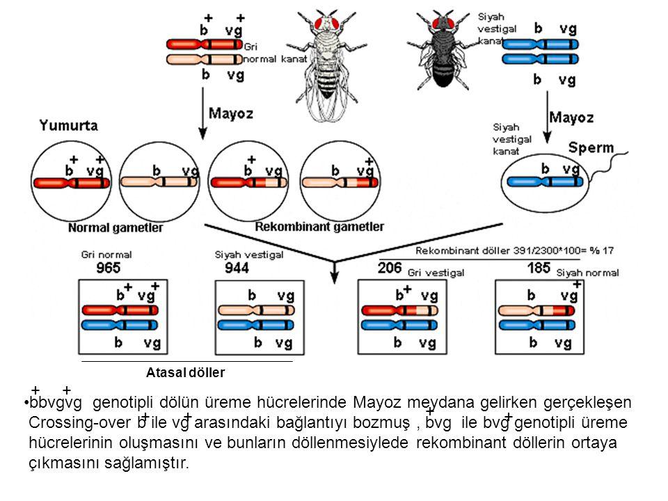 Atasal döller bbvgvg genotipli dölün üreme hücrelerinde Mayoz meydana gelirken gerçekleşen Crossing-over b ile vg arasındaki bağlantıyı bozmuş, bvg il