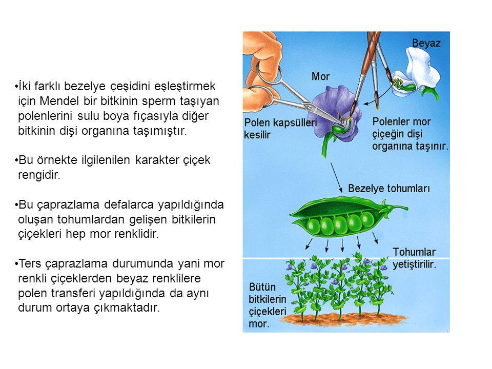 İki farklı bezelye çeşidini eşleştirmek için Mendel bir bitkinin sperm taşıyan polenlerini sulu boya fıçasıyla diğer bitkinin dişi organına taşımıştır