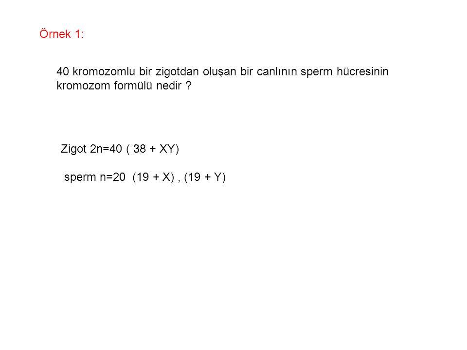 Örnek 1: 40 kromozomlu bir zigotdan oluşan bir canlının sperm hücresinin kromozom formülü nedir ? Zigot 2n=40 ( 38 + XY) sperm n=20 (19 + X), (19 + Y)
