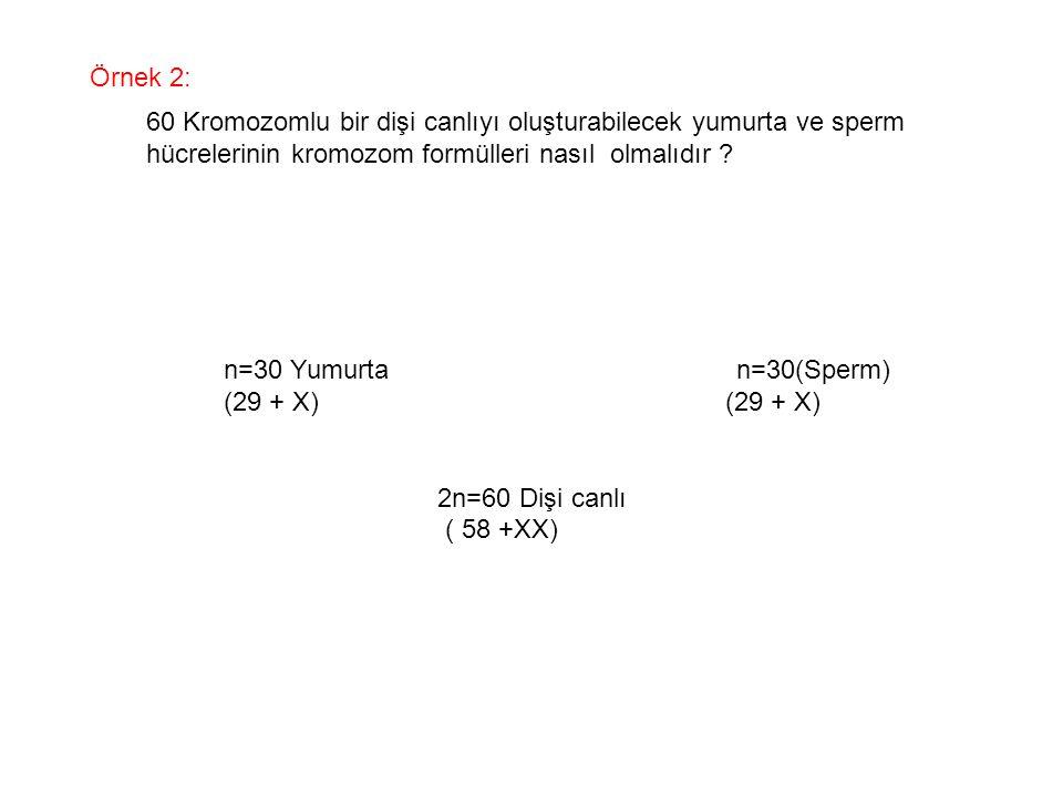 Örnek 2: 60 Kromozomlu bir dişi canlıyı oluşturabilecek yumurta ve sperm hücrelerinin kromozom formülleri nasıl olmalıdır ? n=30 Yumurta n=30(Sperm) (