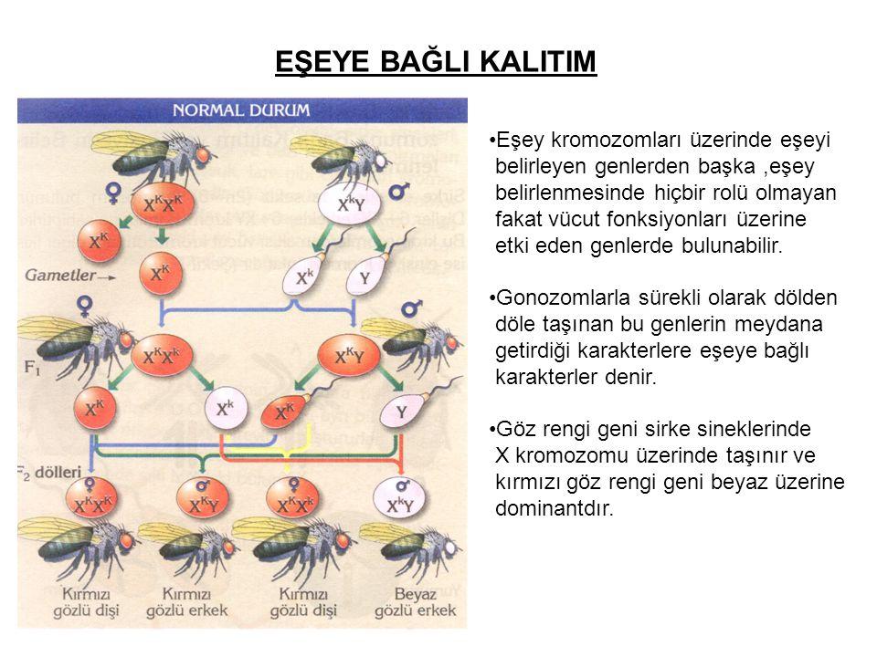 EŞEYE BAĞLI KALITIM Eşey kromozomları üzerinde eşeyi belirleyen genlerden başka,eşey belirlenmesinde hiçbir rolü olmayan fakat vücut fonksiyonları üze