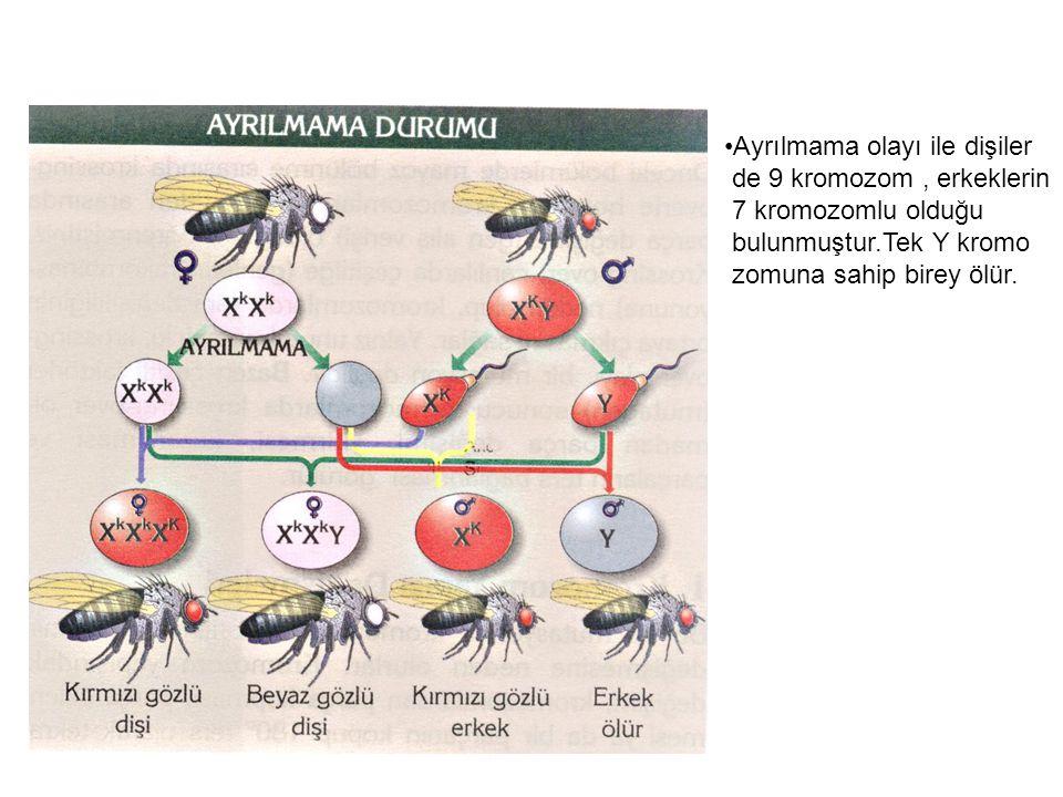 Ayrılmama olayı ile dişiler de 9 kromozom, erkeklerin 7 kromozomlu olduğu bulunmuştur.Tek Y kromo zomuna sahip birey ölür.