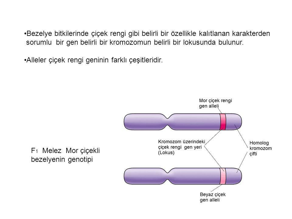 Örnek 2: A türünde bir karakter, üç farklı allel gen tarafından kalıtlanmaktadır.