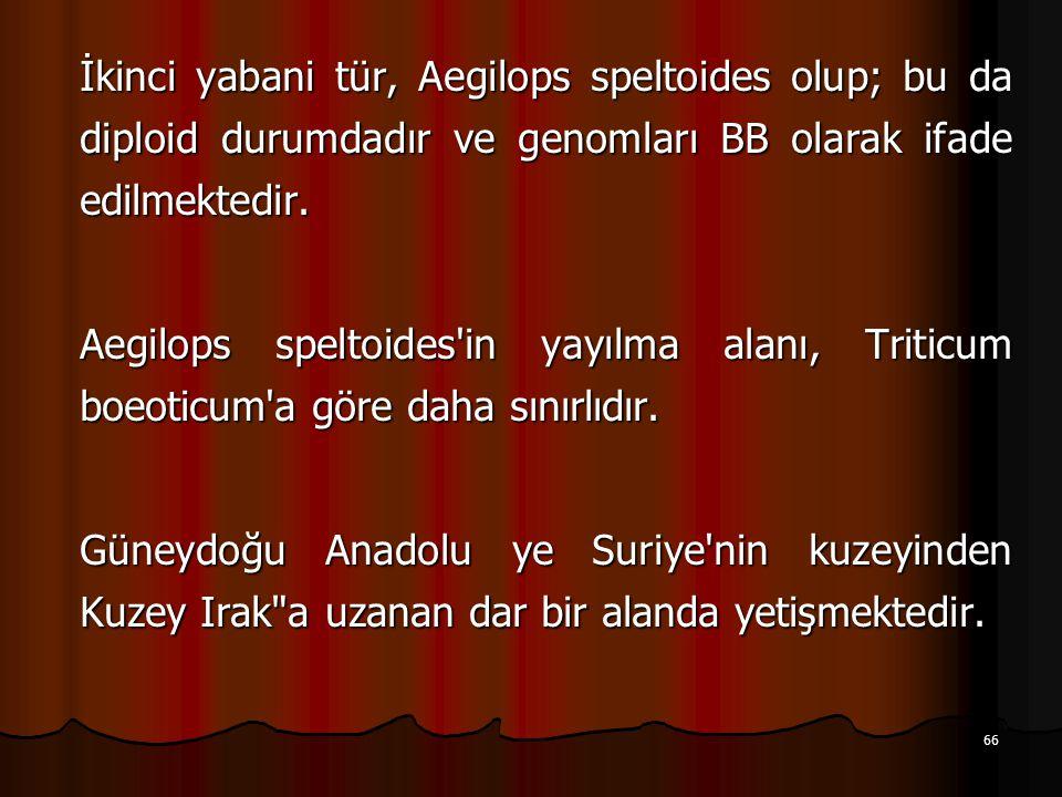 66 İkinci yabani tür, Aegilops speltoides olup; bu da diploid durumdadır ve genomları BB olarak ifade edilmektedir.