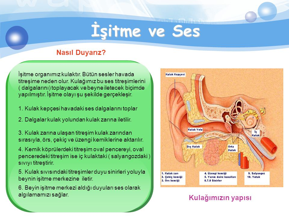 Sesin Oluşumu Gırtlağımızda bulunan ses telleri akciğerden gelen hava ile titreşerek ses meydana getirirler. İnsanların ses telleri farklı kalınlık ve