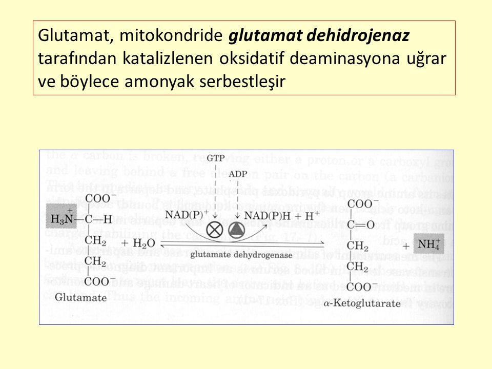 Glutamat, mitokondride glutamat dehidrojenaz tarafından katalizlenen oksidatif deaminasyona uğrar ve böylece amonyak serbestleşir