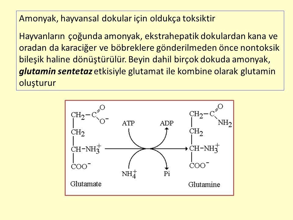 Amonyak, hayvansal dokular için oldukça toksiktir Hayvanların çoğunda amonyak, ekstrahepatik dokulardan kana ve oradan da karaciğer ve böbreklere gönd