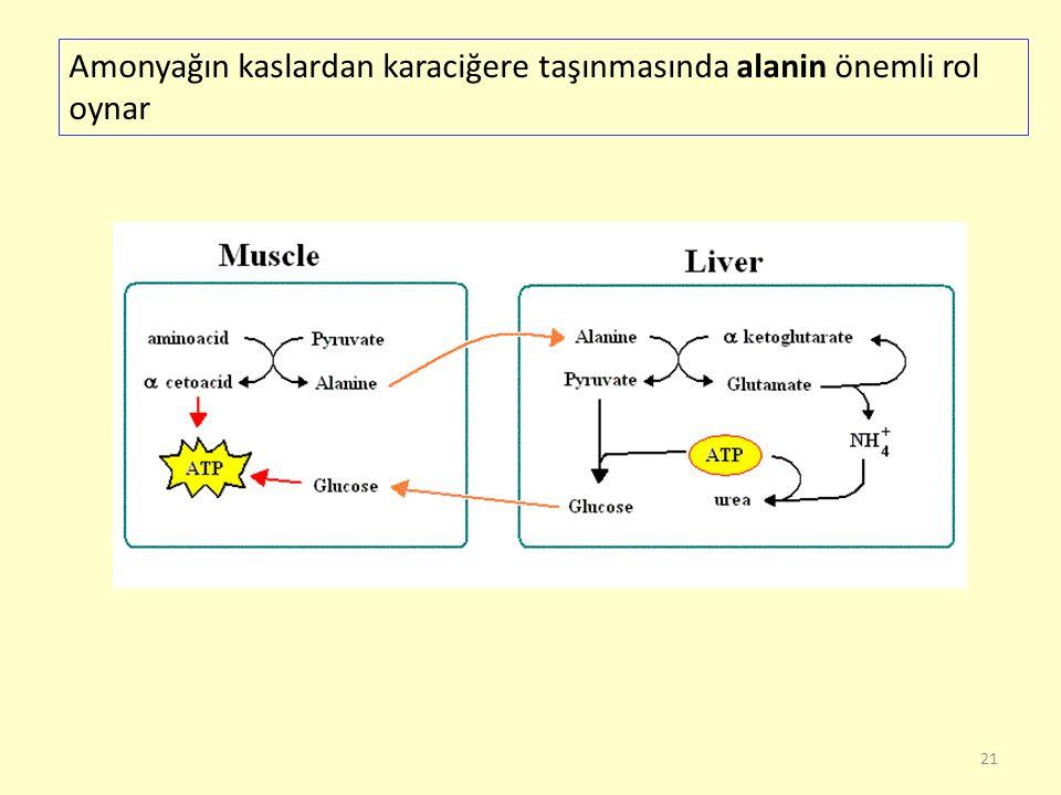 21 Amonyağın kaslardan karaciğere taşınmasında alanin önemli rol oynar