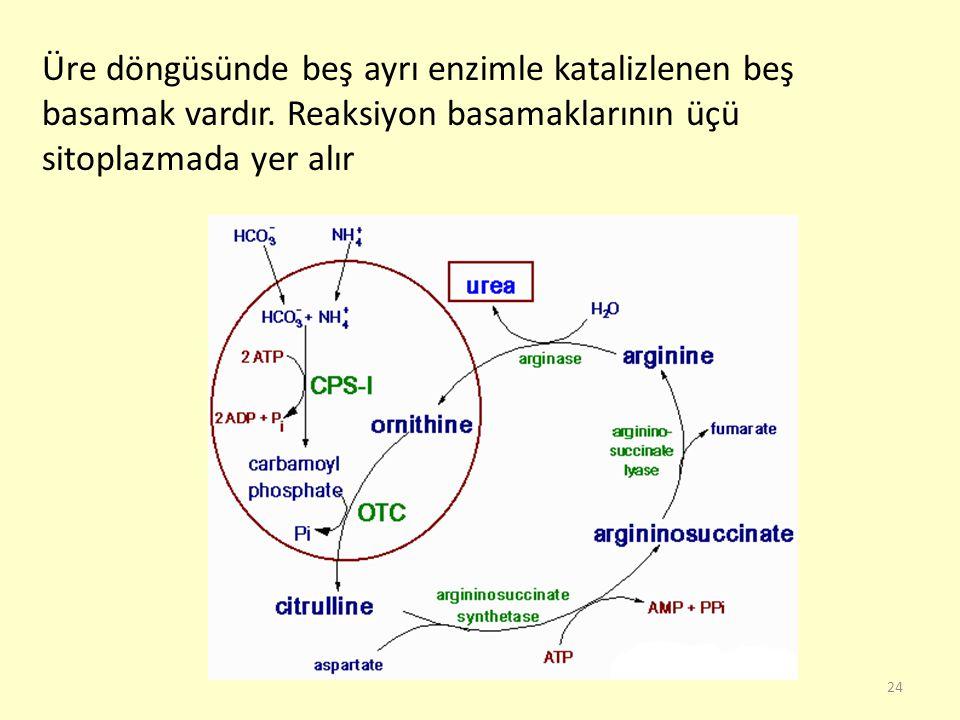 24 Üre döngüsünde beş ayrı enzimle katalizlenen beş basamak vardır. Reaksiyon basamaklarının üçü sitoplazmada yer alır