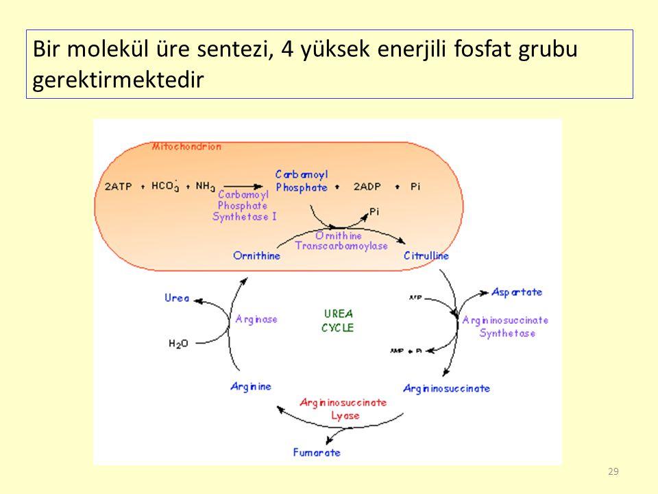29 Bir molekül üre sentezi, 4 yüksek enerjili fosfat grubu gerektirmektedir
