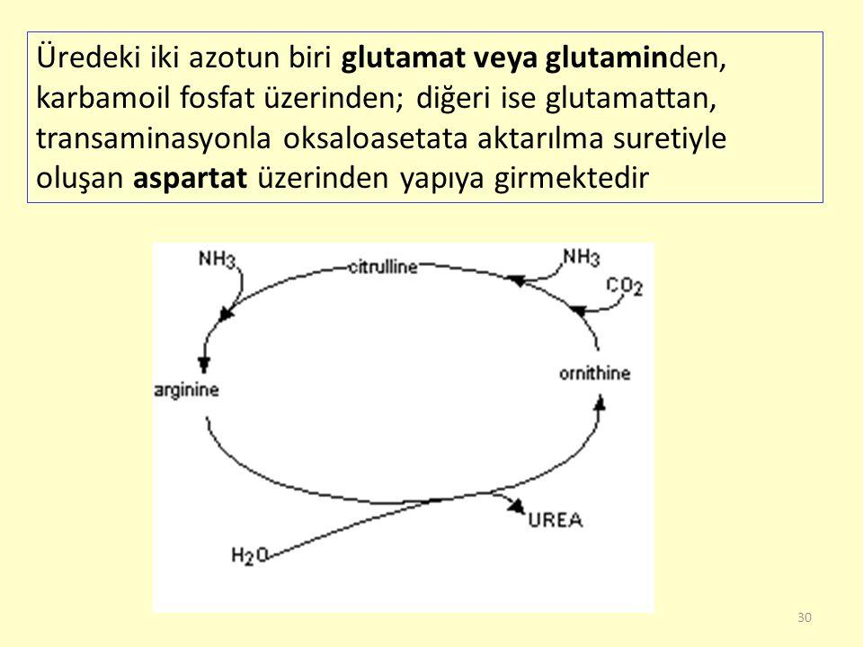 30 Üredeki iki azotun biri glutamat veya glutaminden, karbamoil fosfat üzerinden; diğeri ise glutamattan, transaminasyonla oksaloasetata aktarılma sur